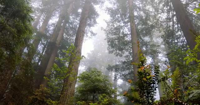 森林里的几棵大树视频素材
